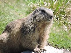 DSCN0335 (keepps) Tags: mountains alps animal schweiz switzerland suisse marmot vaud rochersdenaye