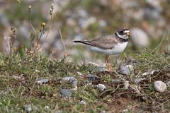 Grand Gravelot (loudz57220) Tags: bird nature animals canon wildlife tamron oiseau commonringedplover charadriushiaticula 70d grandgravelot 150600