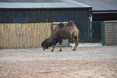 Chester Zoo (680) (rs1979) Tags: zoo chester chesterzoo bactriancamel asiansteppe