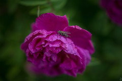 Dogrose and a fly (Shark CR Photo) Tags: shadow summer plant flower texture nature insect fly blossom russia bokeh outdoor sigma petal dogrose sigma1835f18 sigma1835f18dchsm canoneos7dmk2