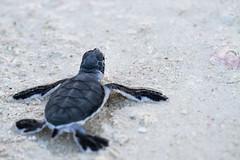 Looking ahead (DrScottA) Tags: malaysia lankayanisland sabah greenturtle cheloniamydas turtle wildlife nature southeastasia sulusea sandakan beach conservation