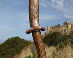 EG Liz Hemipenes 2 (Todd Battey) Tags: spurs reptile lizard greece glasslizard leglesslizard hemipenes europeanglasslizard pseudopusapodus peloponnesepeninsula
