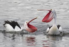 Can't help falling in love (christinaportphotography) Tags: pink wild bird birds happy focus dof bills bokeh ngc joy free australia pelican npc nsw ritual centralcoast courting australianpelican pelecanusconspicillatus