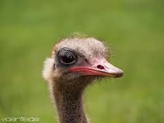 Cabrceno (yiyo4ever) Tags: cabarceno cantabria naturaleza nature grass green animals animales sky cielo verde hierba natural naturalpark zuiko olympus omd em5 m43 avestruz ostrich profundidaddecampo bookeh dof