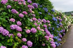 -954 (Mio:D) Tags: flower hydrangea  ise
