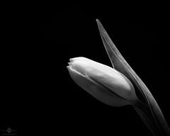 Tulip (chmeermann | www.chm-photography.com) Tags: bw nature monochrome blackwhite nikon natur pflanzen sigma blumen sw makro tulpe lightroom 105mmf28 schwarzweis querformat landscapeformat d7100 silverefexpro2
