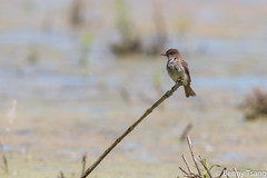 Eastern Phoebe Flycatcher (NatureMirror) Tags: whitby 2016 cbm easternphoebeflycatcher