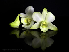 orchid (uvaisjm - Al Seylani Photography) Tags: flowers stilllife orchid reflection studio flora