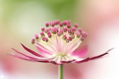 Impossible beauty (Trayc99) Tags: flower macro beautiful softness explore magical astrantia floralart masterwort beautyinnature softbackground explored beautyinmacro