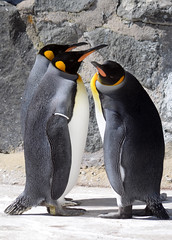 Emperors in conference (Mike_J_G) Tags: penguins emperors edinburghzoo