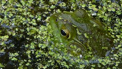 Contestant 3 (mudder_bbc) Tags: green animals poughkeepsie frogs amphibians duckweed bowdoinpark theworldisbeautiful