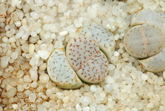 26 juin 2016 - Lithops amicorum C410 (Mafate79) Tags: 2016 lithopsamicorumc410 lithopsamicorum c410 aizoaceae aizoaces aizoace mesembryanthemaceae mesembryanthemaces mesembryanthemace mesemb succulent plante msg2987