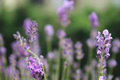 IMG_6694 (Ludmila Leonie) Tags: lavande fleurs esthetique color joyeux canon canoneos60d violet douceur soft feelings flowers beauty purple window happy sunday sunny sunnydays soleil summer t