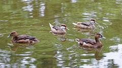 DSC08579_DxO (Franck Zumella) Tags: reflection bird water rouge duck eau teal bec reflexion oiseau canard brun mottled redbilled