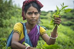 Srimangal-6249 (BohemianTraveler) Tags: asia tea bangladesh srimangal srimongol sreemangal