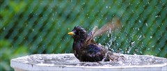 Our Daily Challenge: High Energy (Sue90ca Busy Summer...Slow @ Flick*ring) Tags: canon bath time starling highenergy 6d odc