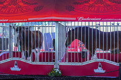 bruce and buster (pbo31) Tags: california friends red summer horses color animal june nikon fair cage bayarea eastbay budweiser pleasanton grounds alamedacounty clydesdales 2016 boury pbo31 d810