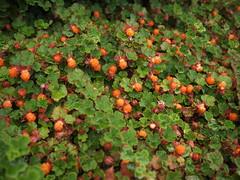 Creeping Raspberry (Bushman.K) Tags: leaf berry shrub taxonomy:binomial=rubuscalycinoides