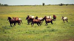 So Baby Run (It Feels Like Rain) Tags: horses texas run westtexas equine fillies yearlings texasranches yearlingfillies