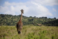 Giraffe, Masai Mara (^Joe) Tags: africa bush kenya outdoor wildlife mara giraffe plain masai savanah