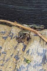 Froglet (GMR Photographs) Tags: pond wildlife amphibian frog froglet