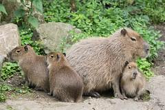 2016-06-27-11h01m05.BL7R2664 (A.J. Haverkamp) Tags: canonef100400mmf4556lisiiusmlens rhenen zoo dierentuin thenetherlands httpwwwouwehandnl ouwehandsdierenparkrhenen capybara dob11042016 pobrhenenthenetherlands