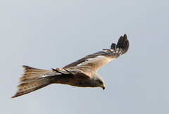 DSC_5115 Red Kite (PeaTJay) Tags: uk england birds outdoors reading gb tamron berkshire birdsofprey redkite lowerearley nikond300s