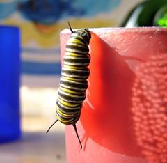 I Wonder what will Happen Next (sallyNZ) Tags: caterpillar monarch inside windowsill metamorphosis ribbet scavenger17