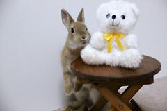 Ichigo san 225 ICHIGO san  (mensore) Tags: family pet brown cute rabbit bunny dwarf netherland ichigo   netherlanddwarf