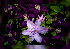 Stars in the Rain.. (scorpion (13)) Tags: flowers plant color nature rain drops creative clematis framework photoart