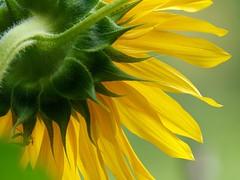 Strong flower (dayonkaede) Tags: olympus sunflower f28 em1 mc14 m40150mm