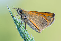 Thymelicus sylvestris (Prajzner) Tags: macro nature butterfly poland lepidoptera manfrotto sigma105mmmacro essexskipper focusstacking thymelicuslineola nikond7100 velbonmagslider prajzner manfrottomt190xpro3