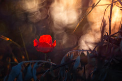 Hidden beauty (Psztor Andrs) Tags: light sunset sun lake flower nature grass forest photography soap bush aperture hungary bokeh wide like grlitz poppy bubble 28 dslr meyer andras 80mm optik trioplan pasztor projektorlens