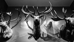 Lots of Antlers (Eric Kilby) Tags: bw monochrome boston wall museum moose science deer antlers mounted elk