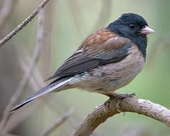 Dark Eyed Junco (David Wheatley) Tags: california bird ornithology pointlobos darkeyedjunco juncohyemalis