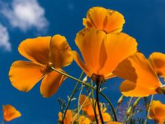 Such A Lovely Face (John Penberthy LRPS) Tags: johnpenberthy nikon d750 poppy californianpoppy orange blue flowersandplants flowers
