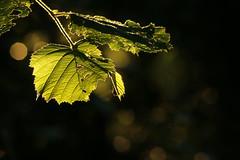 Hazel Leaves (gripspix (OFF)) Tags: 20160630 natur nature abendlicht eveninglight leaf blatt green grn translucent durchscheinend hazel hasel