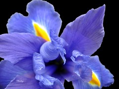 One Singular Sensation (barbarella) Tags: iris flower floral blossom winner bloom gamewinner flowerscolors 3waychallengewinner friendlychallengeswinner herowinner