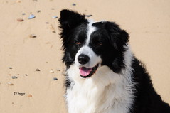 Another Beach Portrait (EJ Images) Tags: uk sea england dog pet slr beach coast mac nikon collie bc sheepdog border norfolk canine coastal bordercollie dslr eastanglia caister nikonslr d90 norfolkcoast nikondslr 2013 nikond90 caisterbeach 18105mmlens ejimages dsc2682c2
