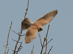 Common Kestrel (Falco Tinnunculus) in Berwick-upon-Tweed (John Wolters) Tags: berwickupontweed falcotinnunculus torenvalk commonkestrel