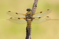 Four-spotted Chaser (Lus Louro) Tags: macro portugal animals ilovenature wings dragonflies wildlife insects bugs planet louro predators odonata anisoptera liblulas wildlifephotography