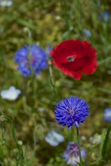 Cornflower (houroumono) Tags: papaver centaureacyanus   shirleypoppy