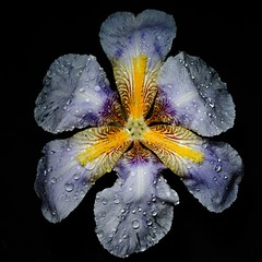 Altered iris (DMCleveland) Tags: iris flower macro spring waterdrop blossom bloom flowermacro waterdropmacro floweronblack roccotaco