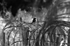 Oblivious to the intent (TJ Gehling) Tags: blackandwhite bw bird finch barbedwire barbwire baxtercreek richmondca richmondshoreline