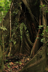 (Respect yourself ~) Tags: tree peru de flora rainforest selva roots jungle madre dios amazonia perou tambopata