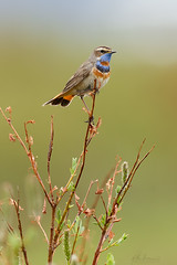 Bluethroat (www.studebakerbirds.com) Tags: alaska willow studebaker nome thrush bluethroat