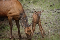 Steady As She Goes (Gwen Deanne) Tags: baby canon mom cow spring colorado 300mm elk estespark calf justborn 2013 40d