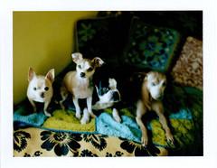 lighting test (EllenJo) Tags: pets chihuahua silly dogs june fun polaroid bostonterrier harrison ivan hazel wigs floyd miniaturepinscher minpin landcamera minipin chihuahuamix chiweenie 2013 fujifp100c fujiinstantfilm ellenjo kittywigs ellenjoroberts dogsindisguise polaroidpathfinder june2013 rollfilmcameraconvertedtopackfilm convertedpathfinder
