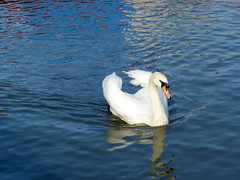 Mute Swan (TonyKRO) Tags: blue bird nature water reflections river swan avon ornithology avian stratford muteswan whitebird riveravon