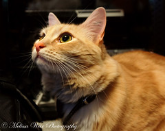 Come to work? (melissaweir) Tags: orange pet cat canon fur whiskers furball miaow